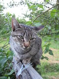 Tom-Katzengrau Lizenzfreies Stockfoto