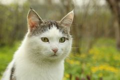 Tom male cat outdoor summer photo Stock Photography