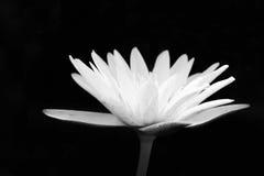 Tom preto e branco Lotus Flower, falada sem pensar Fotografia de Stock