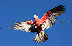 Tom Price - rosa e Gray Galah fotografia de stock