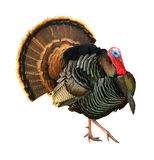 Tom strutting his stuff. Turkey Tom strutting his stuff with red wattles and blue/white head Royalty Free Stock Images