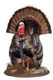 Tom taxidermy. Taxidermy of a male (Tom) turkey in full strutt Royalty Free Stock Image