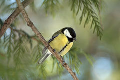Tom-Tit Stockfotos