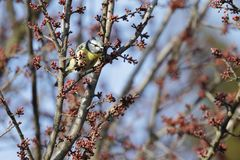 A tom tit cyanistes caeruleus perched on the branches of a tree. Tom tit cyanistes caeruleus perched on the branches of a tree Stock Images