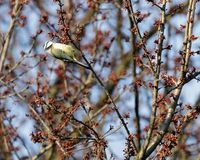 A tom tit cyanistes caeruleus perched on the branches of a tree. Tom tit cyanistes caeruleus perched on the branches of a tree Stock Photo
