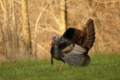 Tom Turchia selvaggio Fotografia Stock