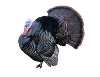 Tom turkey. With clipping path; white background Royalty Free Stock Image