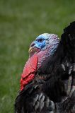 Tom Turkey. Profile of large domestic male turkey Royalty Free Stock Images