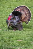 Tom turkey. Adult male tom turkey showing off his colorful feathers on a green spring morning Stock Image
