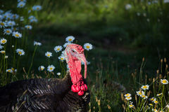 Tom turkey basking in the sunshine laying in a green feild of da. Big black male turkey  basking in the evening light in a field of early summer daisies. growing Stock Photo