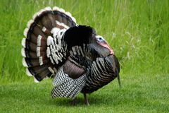 Tom Turkey Displaying Royaltyfria Bilder