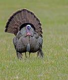 Tom Turkey espalha suas penas de cauda em um campo da grama verde Foto de Stock Royalty Free