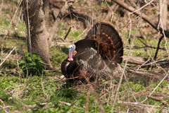 Tom Turkey grande fotos de stock royalty free
