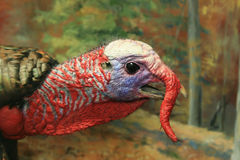 Tom turkey head. Male tom turkey (Meleagris gallopavo) head showing coloration and snood Royalty Free Stock Images