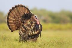 Tom Turkey i skärm Arkivfoto