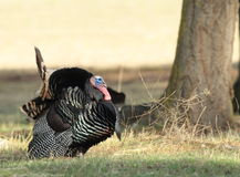 Tom Turkey sauvage Image stock