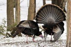 Tom Turkey selvaggio che strutting durante la stagione di accoppiamento nella foresta di Ontario immagine stock libera da diritti