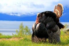 Tom Turkey Struting, Indian Arm Alaska Stock Images