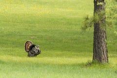 Tom turkey struts around. A big tom turkey has his tail feather spread wide as he walks in the grass near Fernan, Idaho Stock Photography