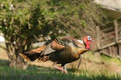 Male turkey in the spring. Tom turkey strutting looking for a mate in the spring Royalty Free Stock Photos