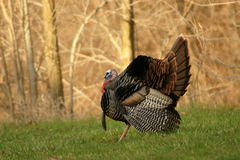 tom turkey wild Стоковое Фото