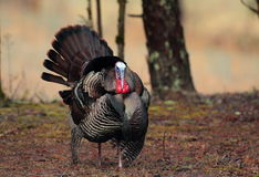 Tom Turkey. Wild turkey strutting for a hen Stock Photo