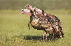 Tom Turkeys having a gabble Royalty Free Stock Images