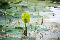 Toma de posesión de Lotus Imagen de archivo libre de regalías