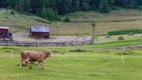 Toma panorámica de la vaca Fotografía de archivo libre de regalías
