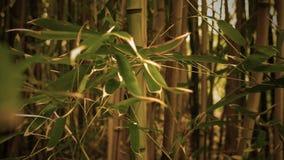 Toma panorámica a través de un bosque de bambú mágico de la sepia de oro cinemática por mañana metrajes