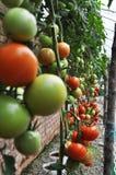 Tomaat Stock Foto