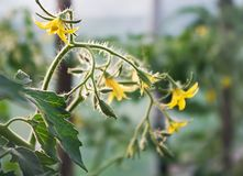Tomaat Stock Fotografie