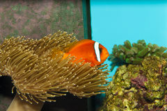 Tomaat Clownfish in Aquarium Stock Foto