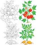 Tomaat en aardappel vector illustratie