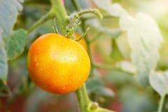 Tomaat en dalingen van water in organische landbouwbedrijven stock foto