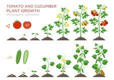 Tomaat en komkommer de stadia infographic elementen van de installatiesgroei in vlak ontwerp Het planten van proces van zadenspru stock illustratie