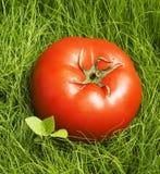Tomaat in gras stock afbeelding