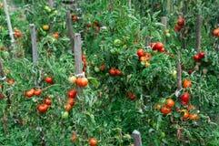 Tomaat het groeien in de tuin Royalty-vrije Stock Foto