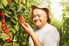 tomaat het oogsten Stock Foto's