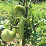 Tomaat Hornworm Stock Fotografie