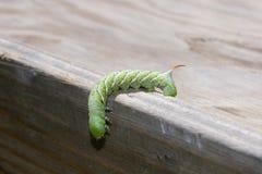 Tomaat hornworm Royalty-vrije Stock Afbeelding