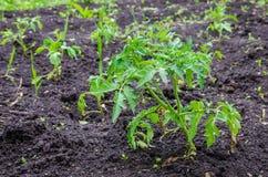 Tomaat mplants op grond Royalty-vrije Stock Afbeeldingen