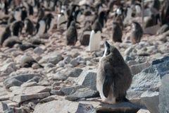 A tomada do penguine de Adelie sunbathe em Continente antárctico Imagem de Stock