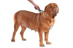 Tomando cuidado de un perro aislado en blanco Imagen de archivo