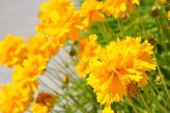 Tomando el sol el Coreopsis grandiflora Fotos de archivo libres de regalías