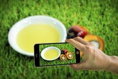 Tomando a foto de frutos de óleo frescos da palma com telefone celular imagem de stock