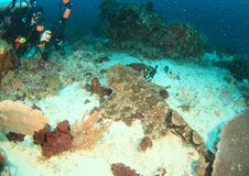 Tomando a foto do tubarão do wobbegong imagem de stock