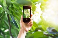 Tomando a imagens a flor branca com o telefone esperto móvel na natureza imagem de stock royalty free