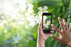 Tomando a imágenes la flor blanca con el teléfono elegante móvil en la naturaleza Imagen de archivo libre de regalías