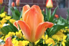 Tomando a observação de uma tulipa fotos de stock royalty free